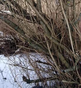 väärin leikattu pensas