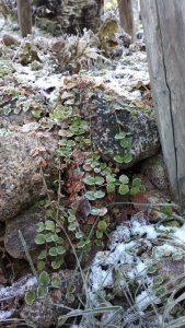 www.kevat.net pihasuunnittelu kivikkokasvit